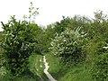 The Ridgeway crosses Duchie's Piece, Aldbury Nowers, in May - geograph.org.uk - 1347775.jpg