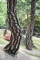 The Shell Of Pine Tree (151901221).jpeg