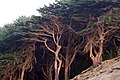 The Trees of Land's End (304138682).jpg