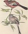 The birds of Europe (1837) (14565533067).jpg