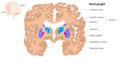 The structures of the basal ganglia.png