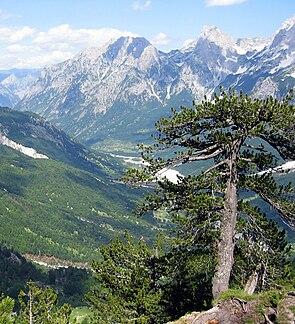Schlangenhaut-Kiefer (Pinus heldreichii)