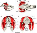 Three-dimensional-digital-reconstruction-of-the-jaw-adductor-musculature-of-the-extinct-marsupial-peerj-02-514-g004.jpg