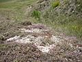 Thymus calcareus.JPG