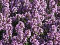 Thymus pulegioides flowering 02.JPG