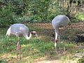 Tierpark Cottbus Saruskraniche.JPG