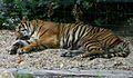 Tigre (5958614260).jpg