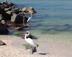 Treasure Island, Florida - Egrets enjoying the crystal clear water at Treasure Island, Florida.