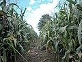 Tiptoe through the Maize - geograph.org.uk - 44940.jpg
