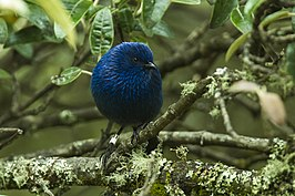 Tit-like Dacnis - South Ecuador S4E3133 (22856127167).jpg
