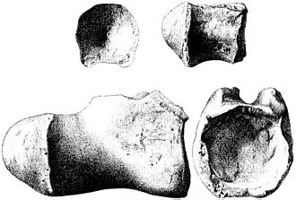 Titanosaurus - T. blanfordi holotype distal caudal vertebra (GSI 2195)