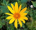 Tithonia diversifolia I.jpg