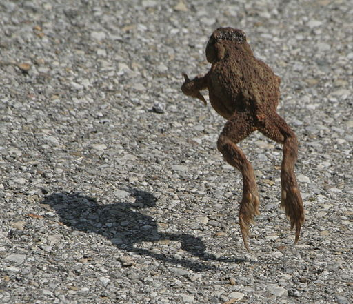 Toad jumping