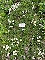 Tolpis staticifolia - Botanischer Garten München-Nymphenburg - DSC07677.JPG