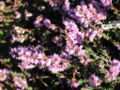 TomCorser Heather Gorse 7.jpg