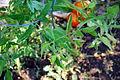 Tomato Plant 13 2012-07-28.jpg