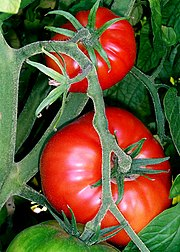 Tomato Modern Uses Of Tomatoes | RM.