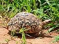 Tortoise Tarangire National Park - 2015-01-12.jpg