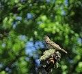 Trädpiplärka Tree Pipit (14519415084).jpg