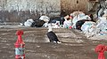 Trash eagle.jpg