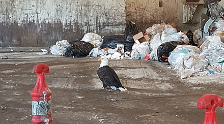 inside of a waste collection and transfer facility, Homer, Alaska Trash eagle.jpg