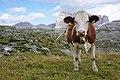 Tre Cime cows 4.jpg