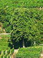 Tree - panoramio (11).jpg