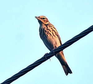English: Tree Pipit Anthus trivialis at Sindhr...