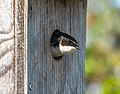 Tree swallow in a nest box in JBWR (25673).jpg