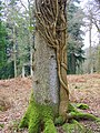 Tree trunk, Sloden Inclosure - geograph.org.uk - 1169861.jpg