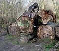 Tree trunks, Clandeboye - geograph.org.uk - 754846.jpg