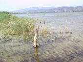 Tree remains on Trasimeno's shores.