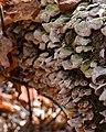 Trichaptum sp. - Gatineau Park 01.jpg