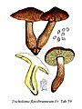 Tricholoma flavobrunneum-Icon-Mycol.-Tab-59.jpg