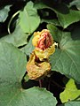 Trichosanthes tricuspidata var. tomentosa 8.JPG