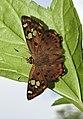 Tricoloured Pied Flat Coladenia indrani by Dr Raju Kasambe DSCN9927 (6).jpg