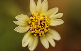 Tridax procumbens - Top view of the flower