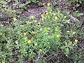 Trifolium aureum sl21.jpg