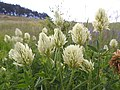 Trifolium pannonicum Lempes 1.jpg