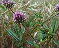 Trifoliumciliolatum.jpg