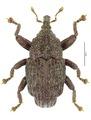 Trigonopterus montanus Riedel, holotype.tif