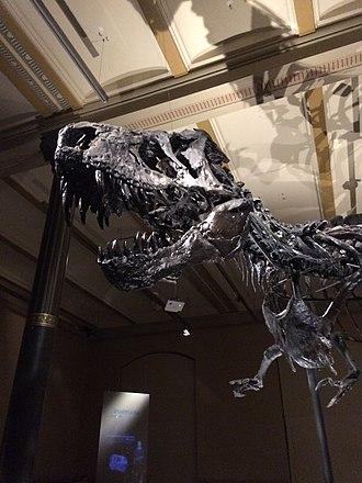 "Natural History Museum, Berlin - ""Tristan"", a Tyrannosaurus rex"