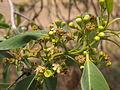 Tristania suaveolens flowers and foliage.jpg