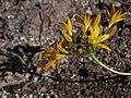 Triteleia montana.jpg
