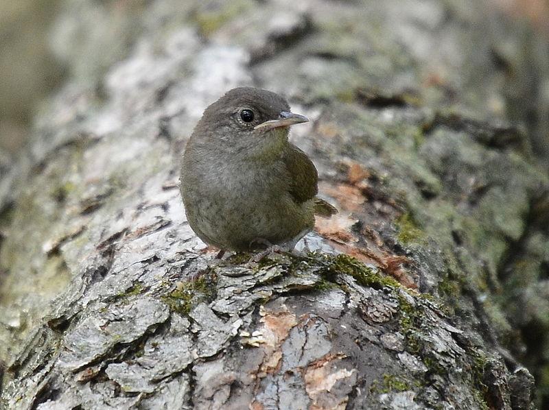 File:Troglodytes aedon aedon, Hickory Grove IL 3.jpg