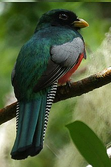 Trogon collaris 1.jpg