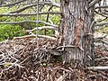 Trunk of Large Cupressus bakeri at Timbered Crater East - Flickr - theforestprimeval.jpg