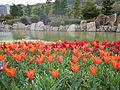 Tulip (117).JPG