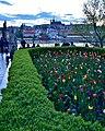 Tulips, Prague, 2019 (01).jpg