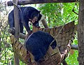 Two bile bears at The Tat Kuang Si bear rescue centre, Laos 01.jpg